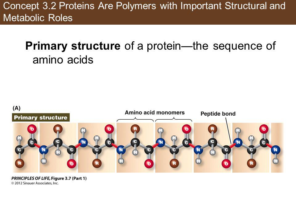 Primary structure of a protein—the sequence of amino acids