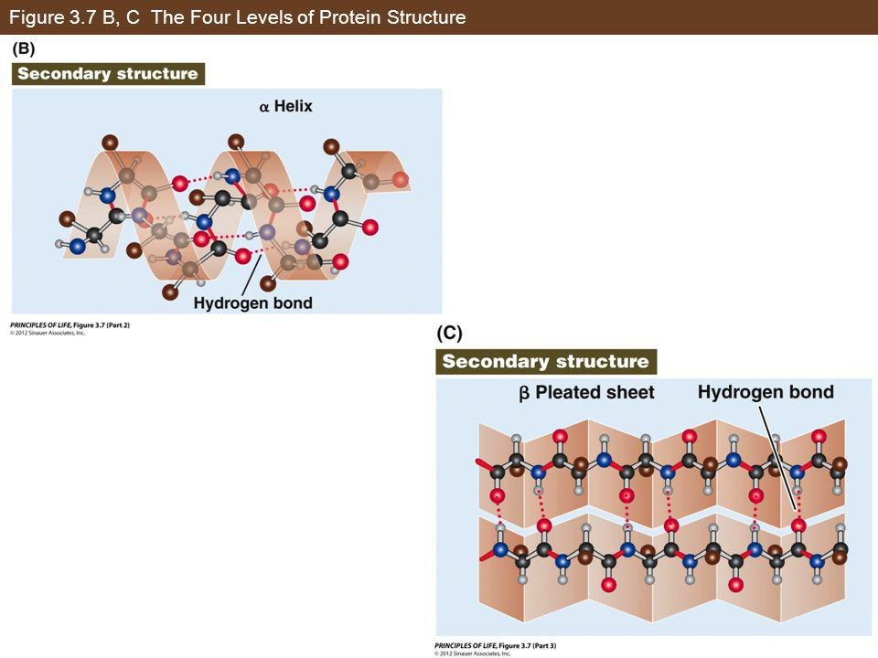 Figure 3.7 B, C The Four Levels of Protein Structure