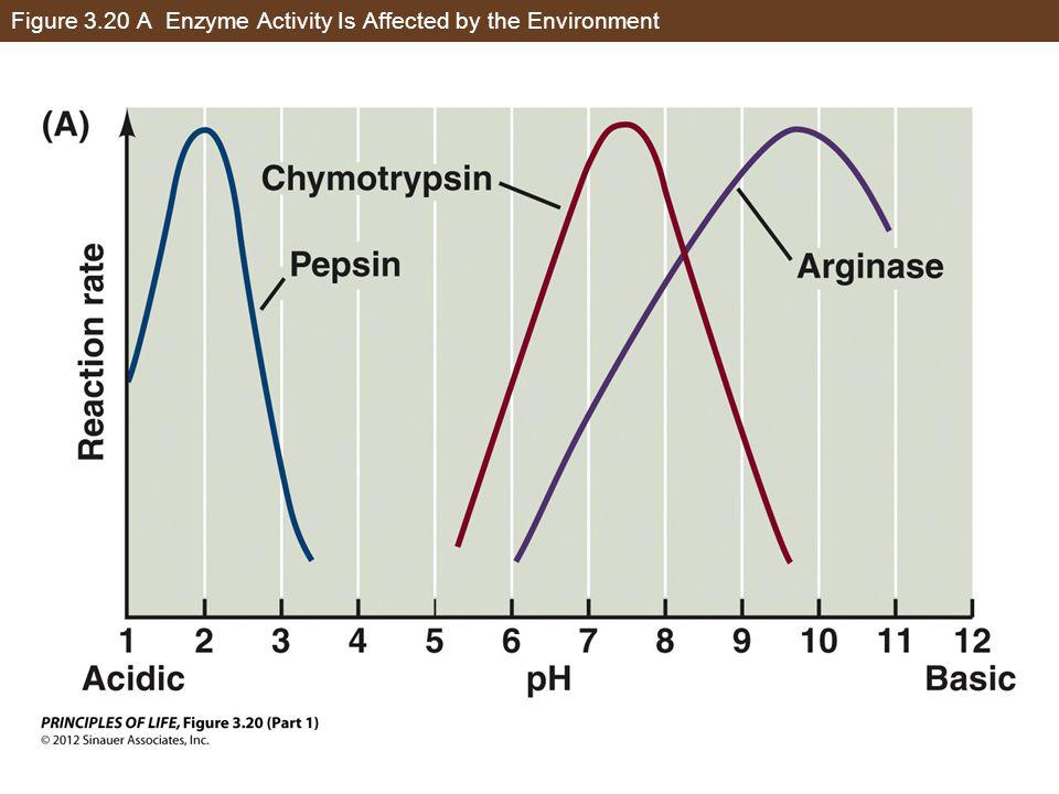 Figure 3.20 A Enzyme Activity Is Affected by the Environment
