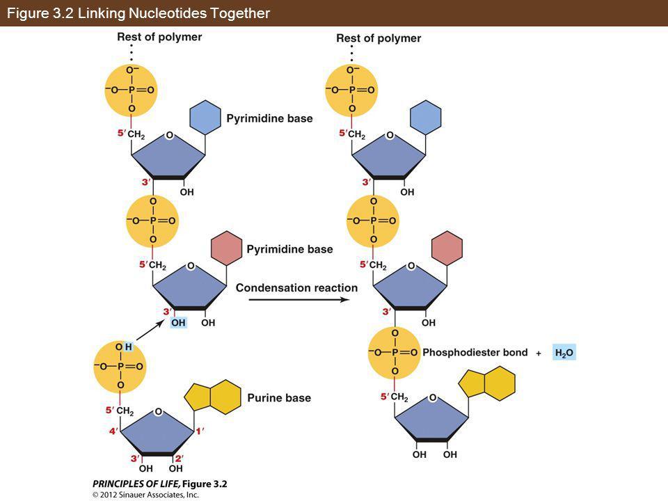 Figure 3.2 Linking Nucleotides Together