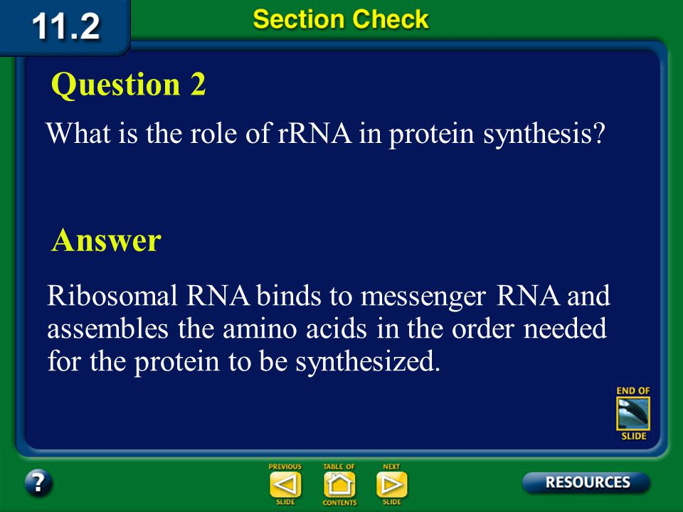 Question 2 Answer What is the role of rRNA in protein synthesis