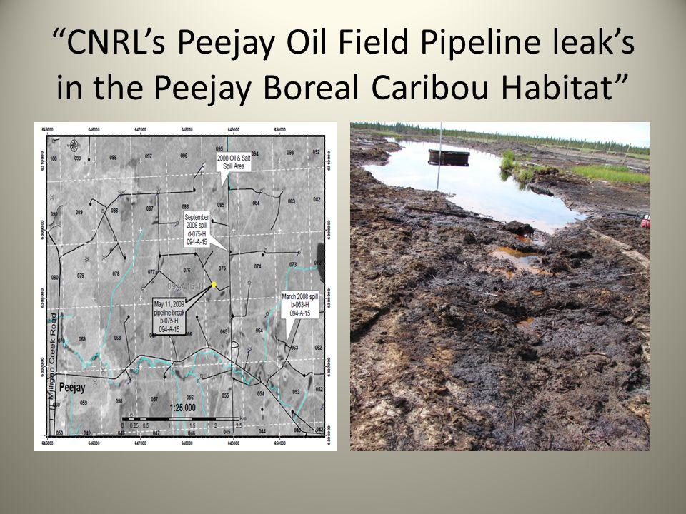 CNRL's Peejay Oil Field Pipeline leak's in the Peejay Boreal Caribou Habitat