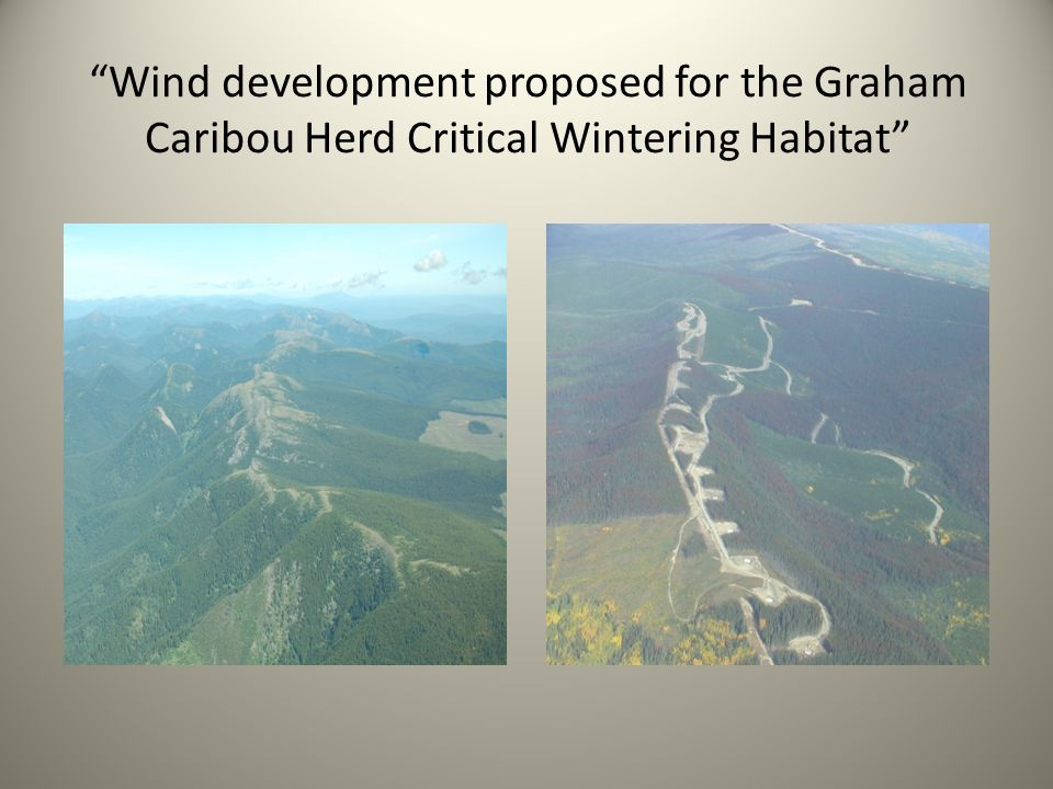 Wind development proposed for the Graham Caribou Herd Critical Wintering Habitat