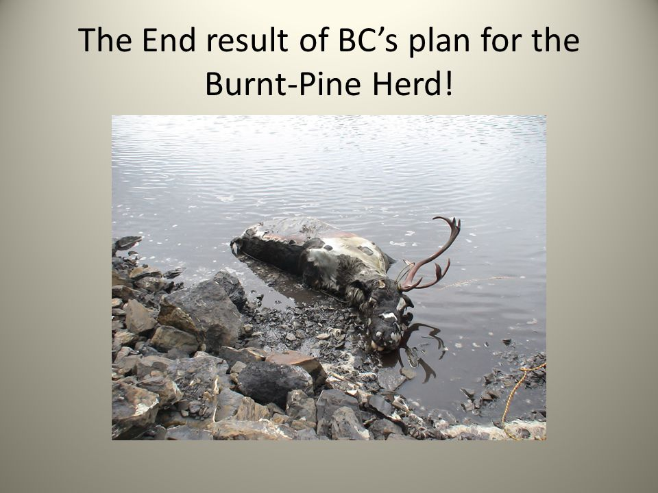 The End result of BC's plan for the Burnt-Pine Herd!