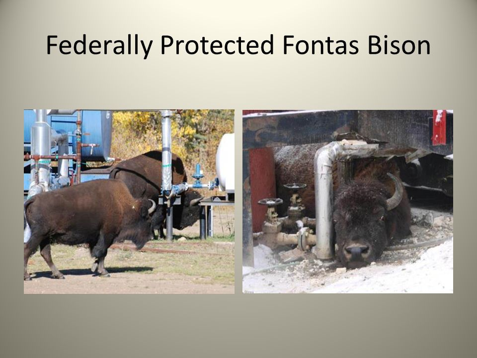 Federally Protected Fontas Bison