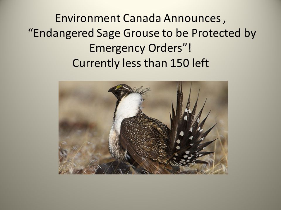 Environment Canada Announces , Endangered Sage Grouse to be Protected by Emergency Orders .