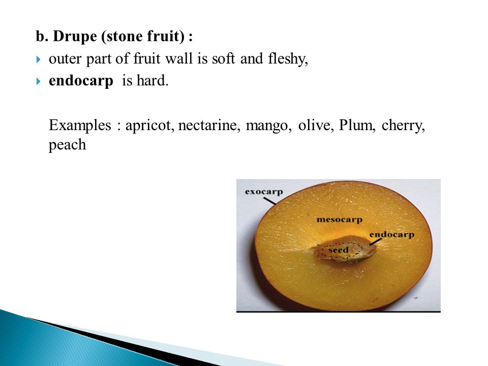 b. Drupe (stone fruit) : outer part of fruit wall is soft and fleshy, endocarp is hard.