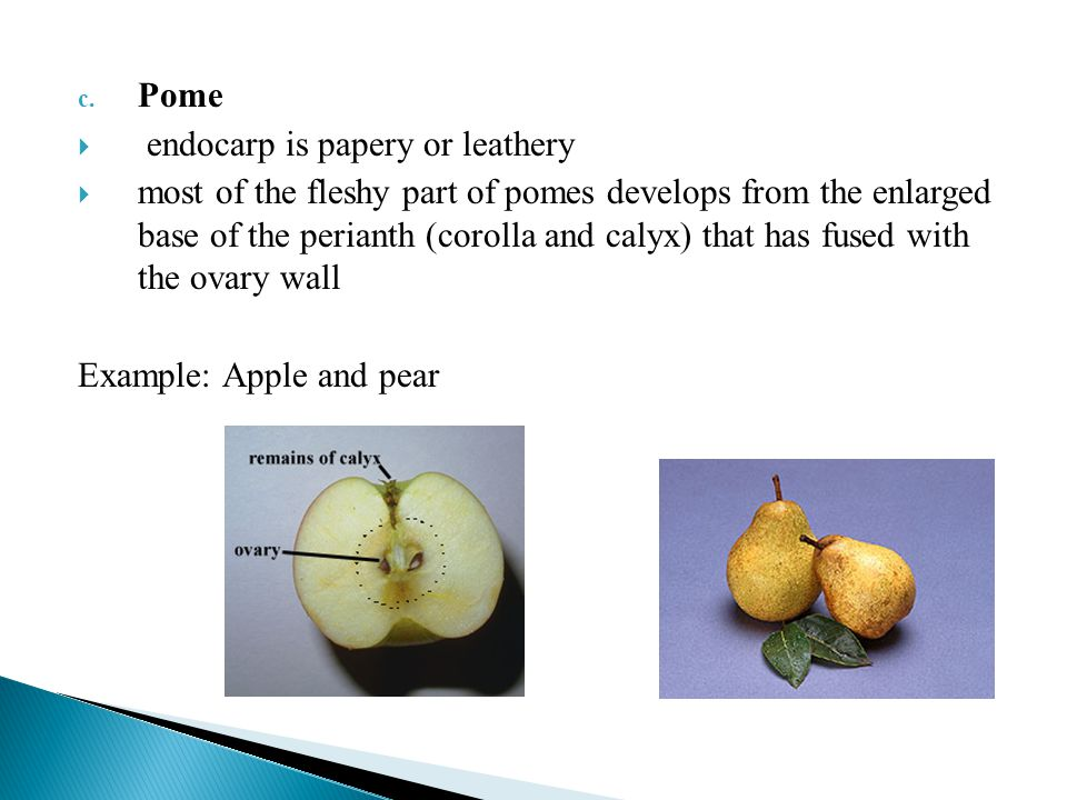 Pome endocarp is papery or leathery.