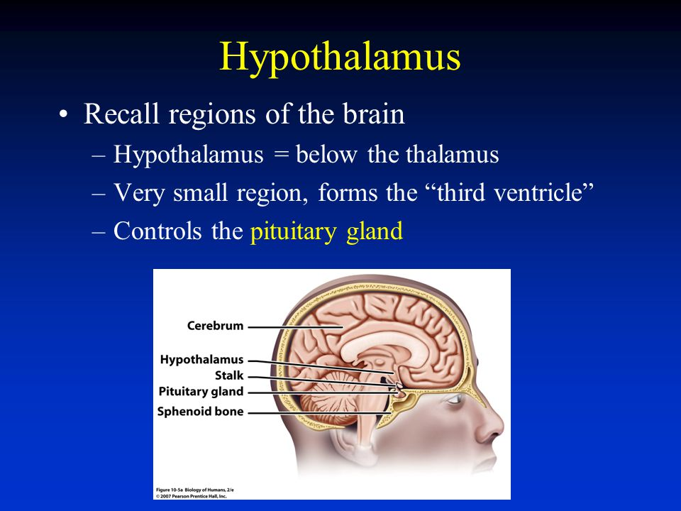 Hypothalamus Recall regions of the brain