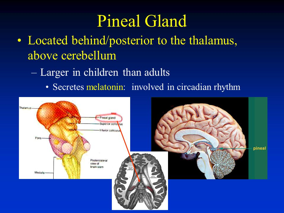 Pineal Gland Located behind/posterior to the thalamus, above cerebellum. Larger in children than adults.