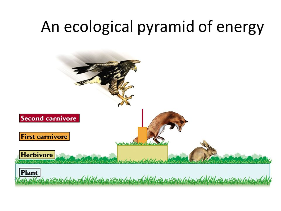 An ecological pyramid of energy
