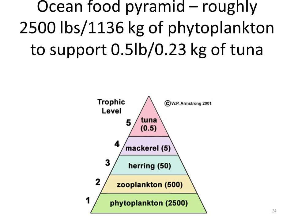 Ocean food pyramid – roughly 2500 lbs/1136 kg of phytoplankton to support 0.5lb/0.23 kg of tuna