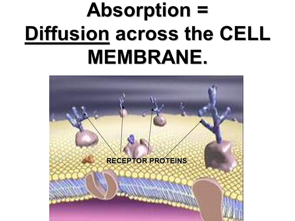 Absorption = Diffusion across the CELL MEMBRANE.