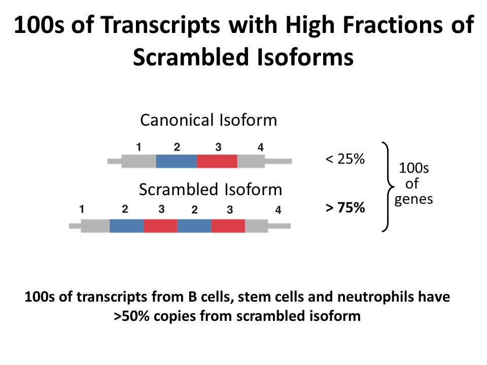 100s of Transcripts with High Fractions of Scrambled Isoforms