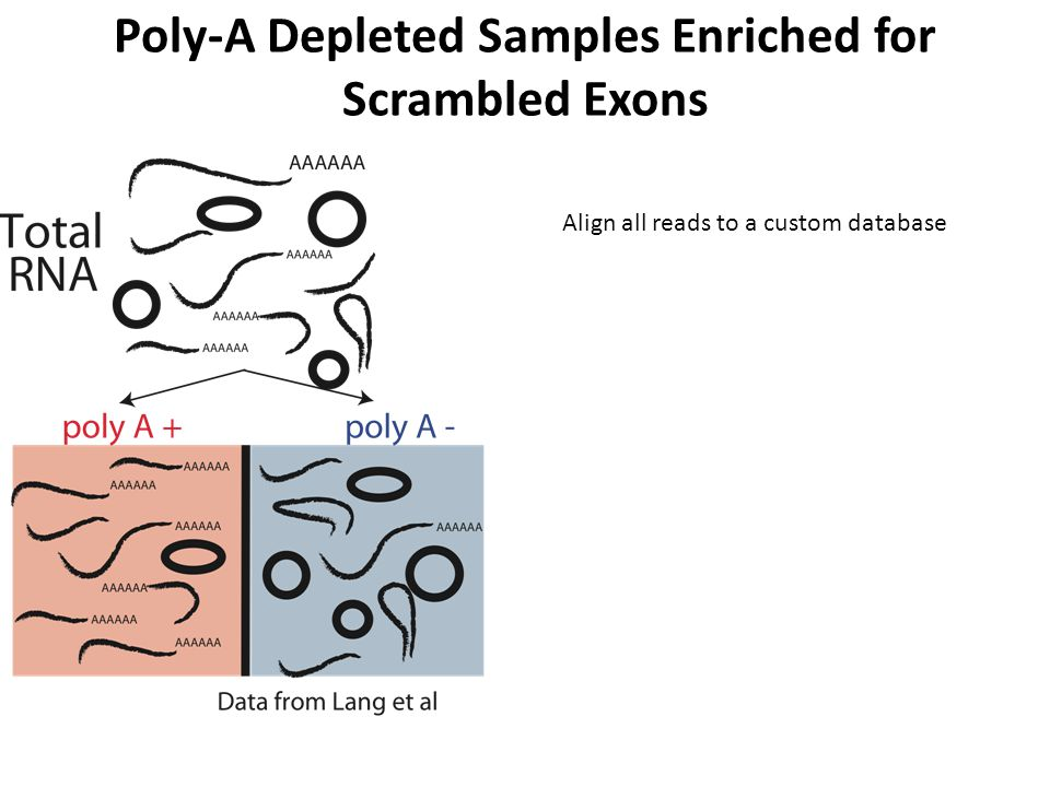 Poly-A Depleted Samples Enriched for Scrambled Exons