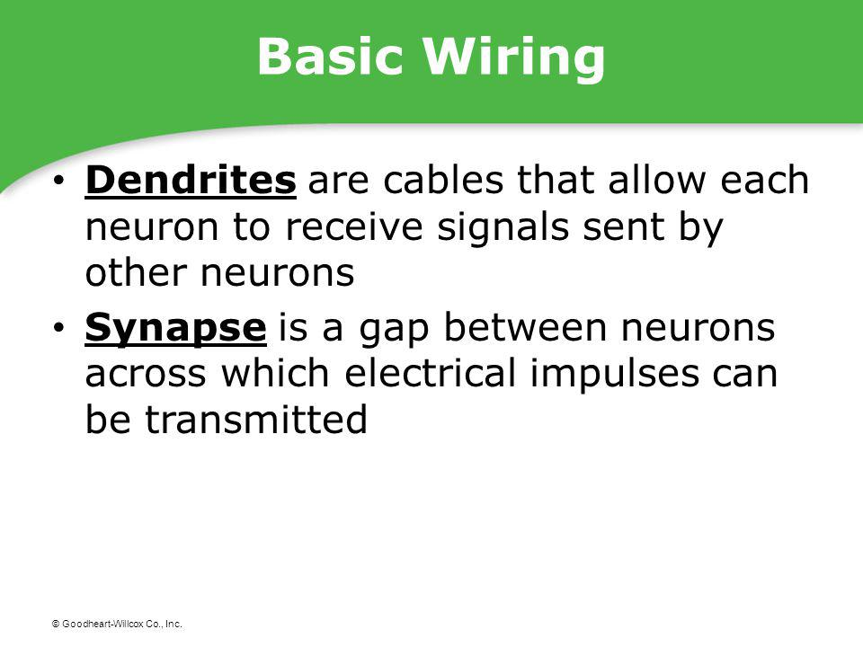 Basic Wiring Dendrites are cables that allow each neuron to receive signals sent by other neurons.