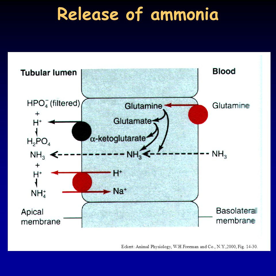 Release of ammonia Eckert: Animal Physiology, W.H.Freeman and Co., N.Y.,2000, Fig. 14-30.