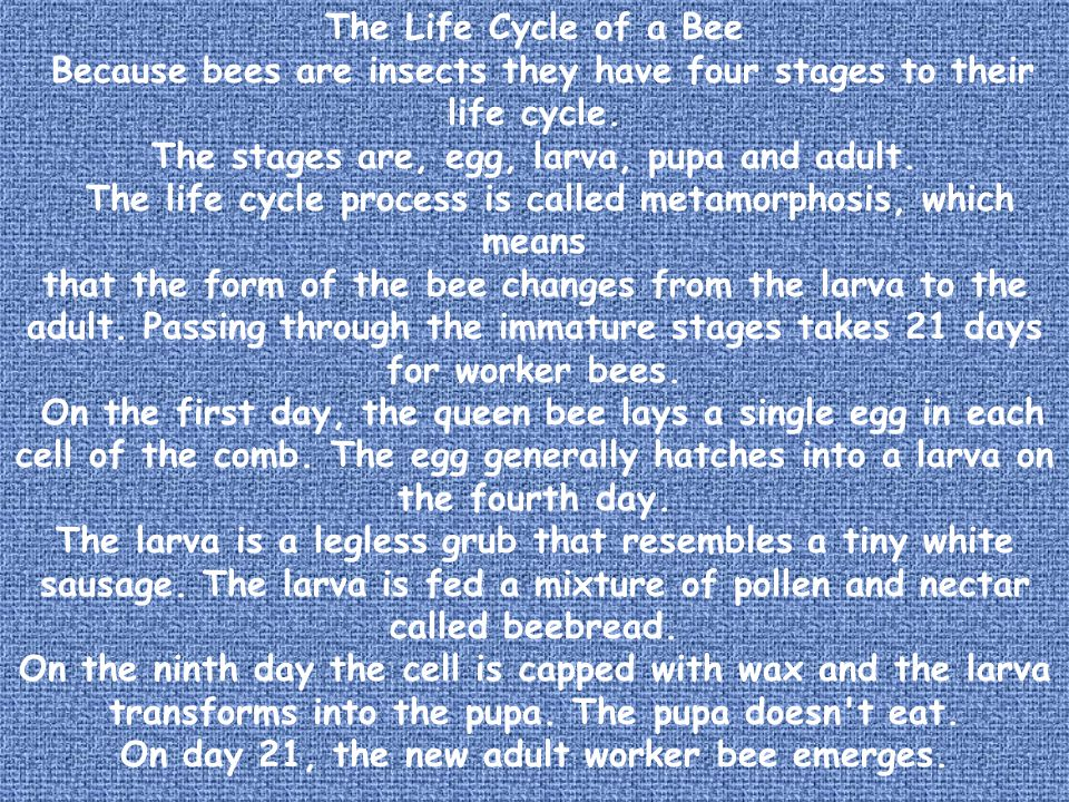 Because bees are insects they have four stages to their life cycle.