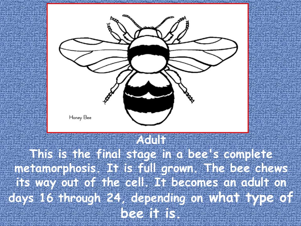 Adult This is the final stage in a bee s complete metamorphosis