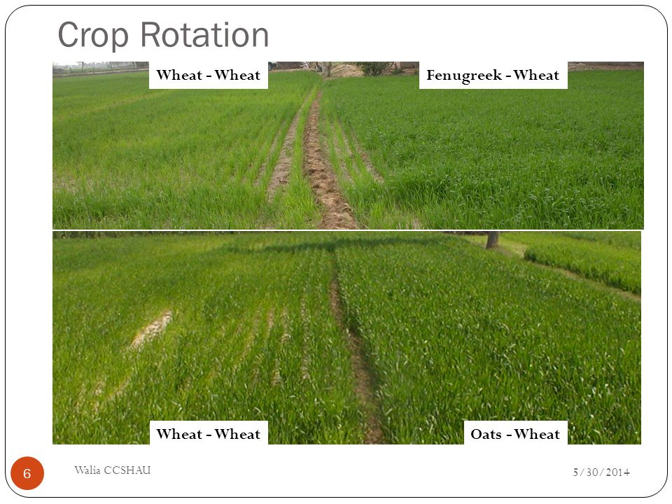 Crop Rotation Wheat - Wheat Fenugreek - Wheat Wheat - Wheat