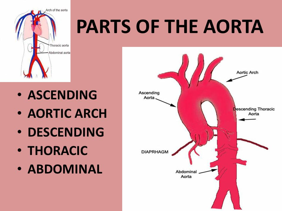 PARTS OF THE AORTA ASCENDING AORTIC ARCH DESCENDING THORACIC ABDOMINAL