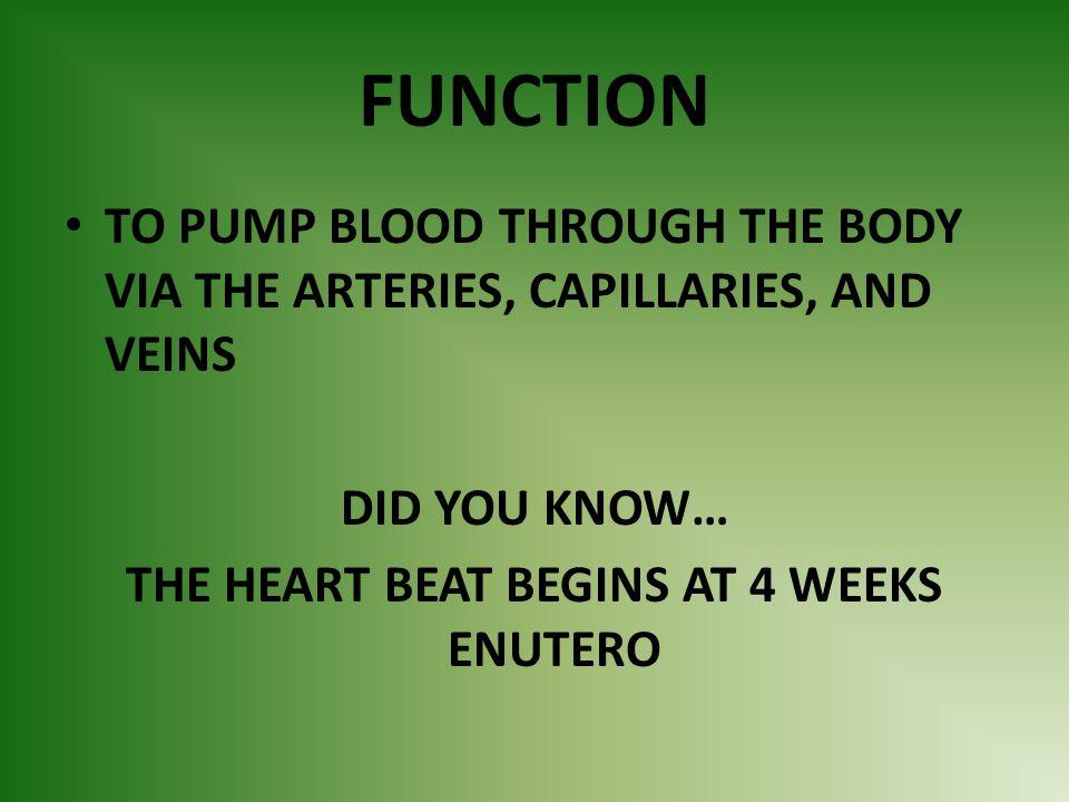 THE HEART BEAT BEGINS AT 4 WEEKS ENUTERO