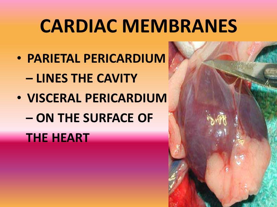 CARDIAC MEMBRANES PARIETAL PERICARDIUM – LINES THE CAVITY
