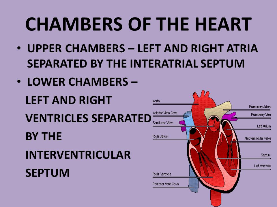 CHAMBERS OF THE HEART UPPER CHAMBERS – LEFT AND RIGHT ATRIA SEPARATED BY THE INTERATRIAL SEPTUM. LOWER CHAMBERS –