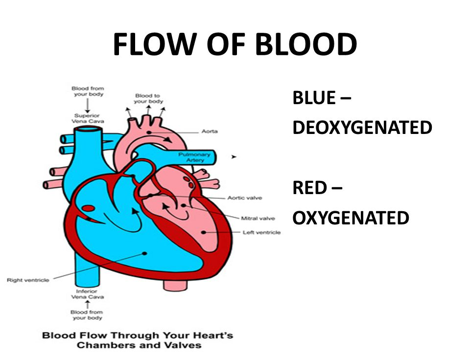 FLOW OF BLOOD BLUE – DEOXYGENATED RED – OXYGENATED