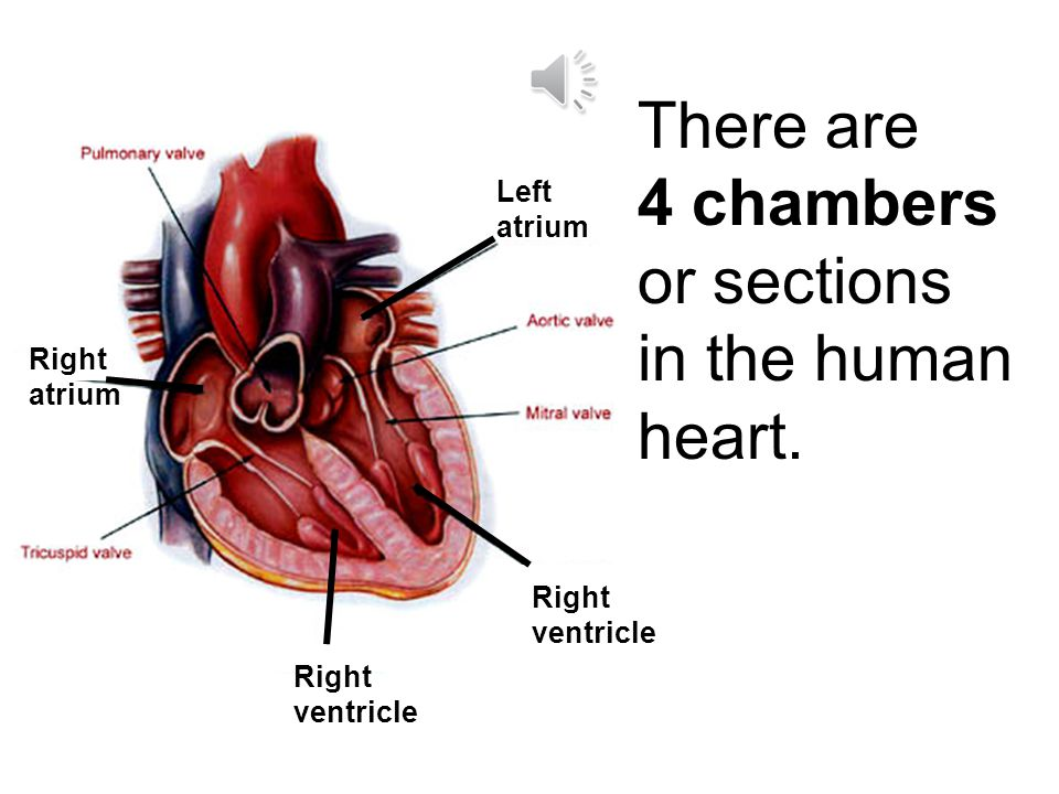 There are 4 chambers or sections in the human heart.