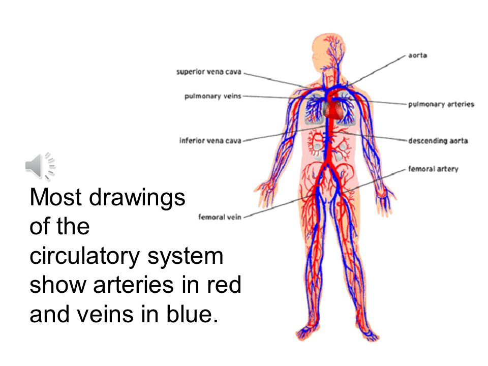 Most drawings of the circulatory system show arteries in red and veins in blue.