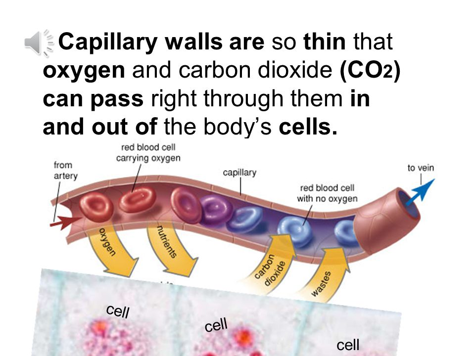 Capillary walls are so thin that oxygen and carbon dioxide (CO2) can pass right through them in and out of the body's cells.