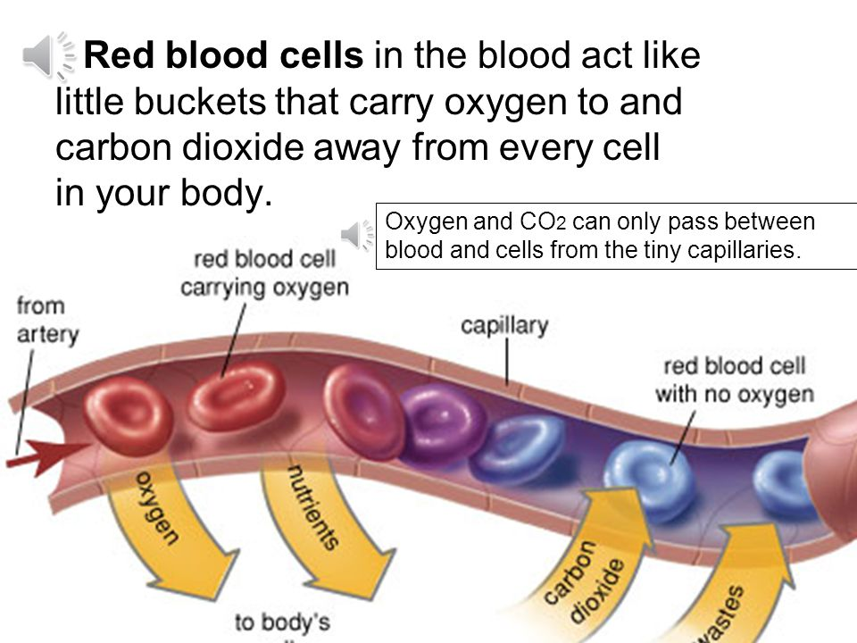 Red blood cells in the blood act like little buckets that carry oxygen to and carbon dioxide away from every cell in your body.