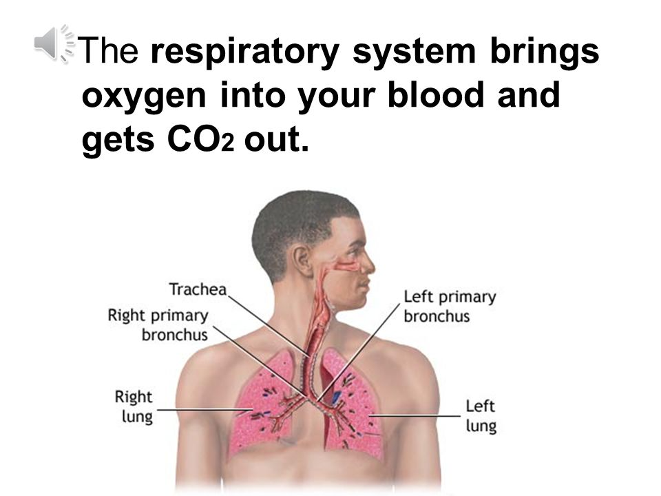 The respiratory system brings oxygen into your blood and gets CO2 out.