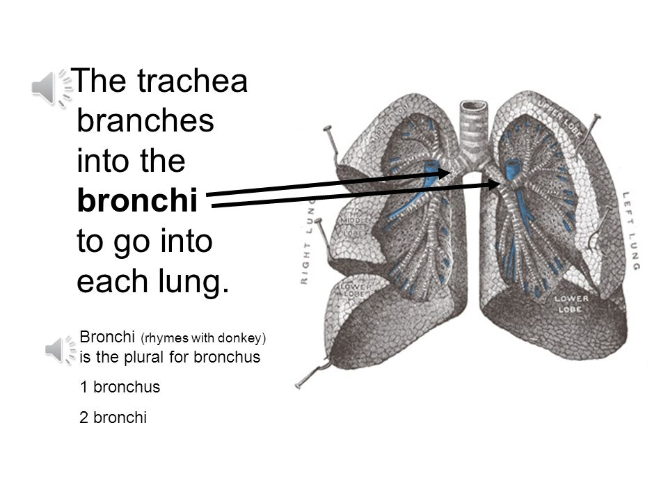 The trachea branches into the bronchi to go into each lung.