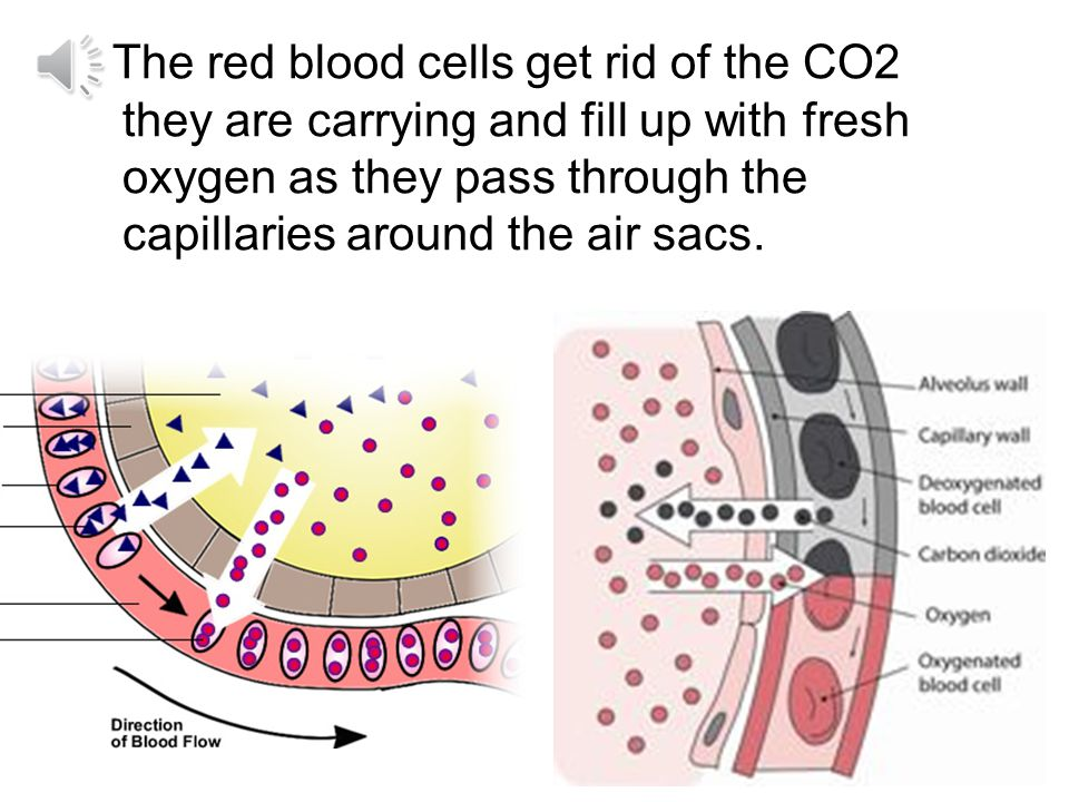 The red blood cells get rid of the CO2 they are carrying and fill up with fresh oxygen as they pass through the capillaries around the air sacs.