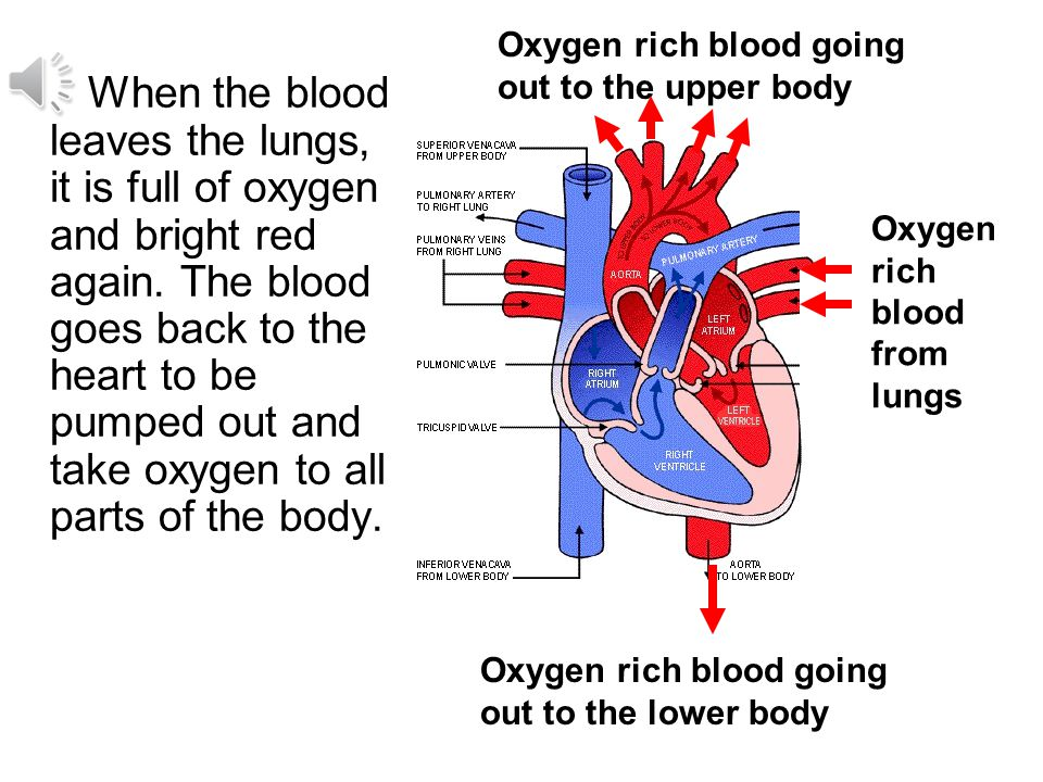 Oxygen rich blood going out to the upper body