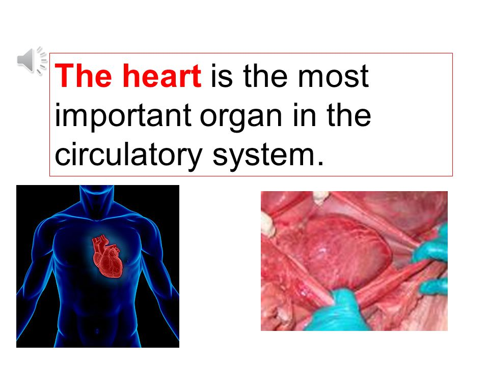 The heart is the most important organ in the circulatory system.