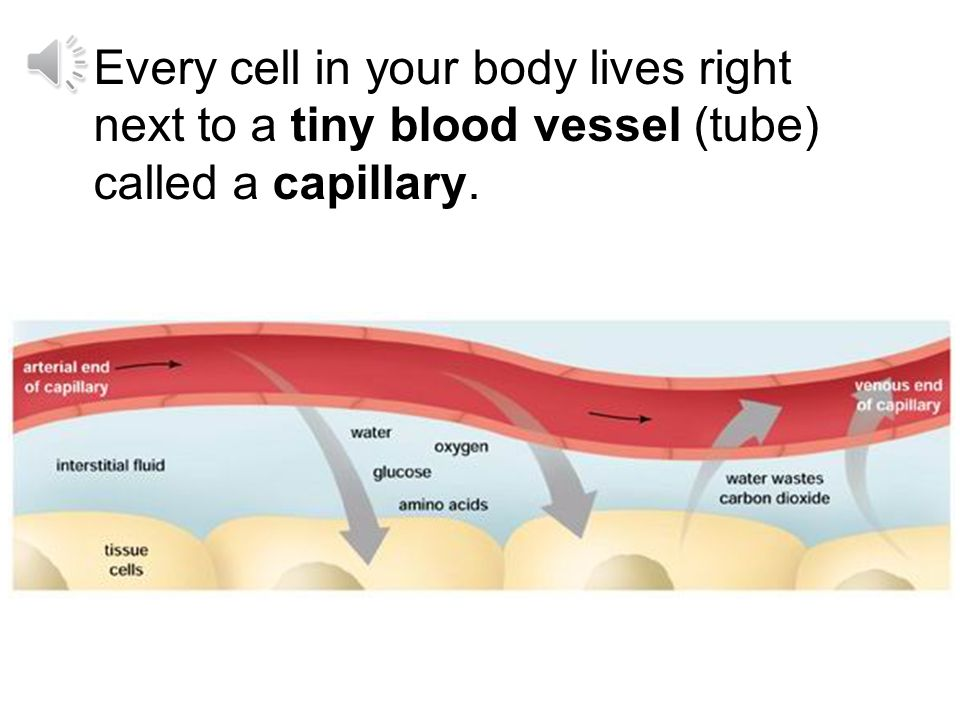 Every cell in your body lives right next to a tiny blood vessel (tube) called a capillary.