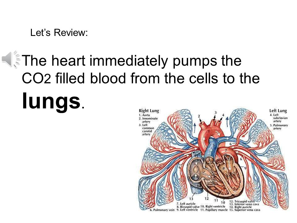Let's Review: The heart immediately pumps the CO2 filled blood from the cells to the lungs.