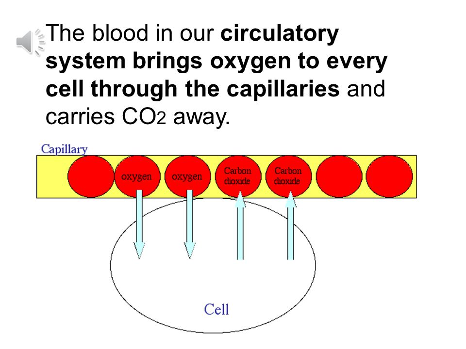 The blood in our circulatory system brings oxygen to every cell through the capillaries and carries CO2 away.