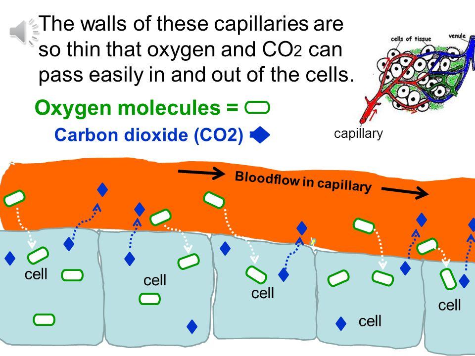 The walls of these capillaries are so thin that oxygen and CO2 can pass easily in and out of the cells.