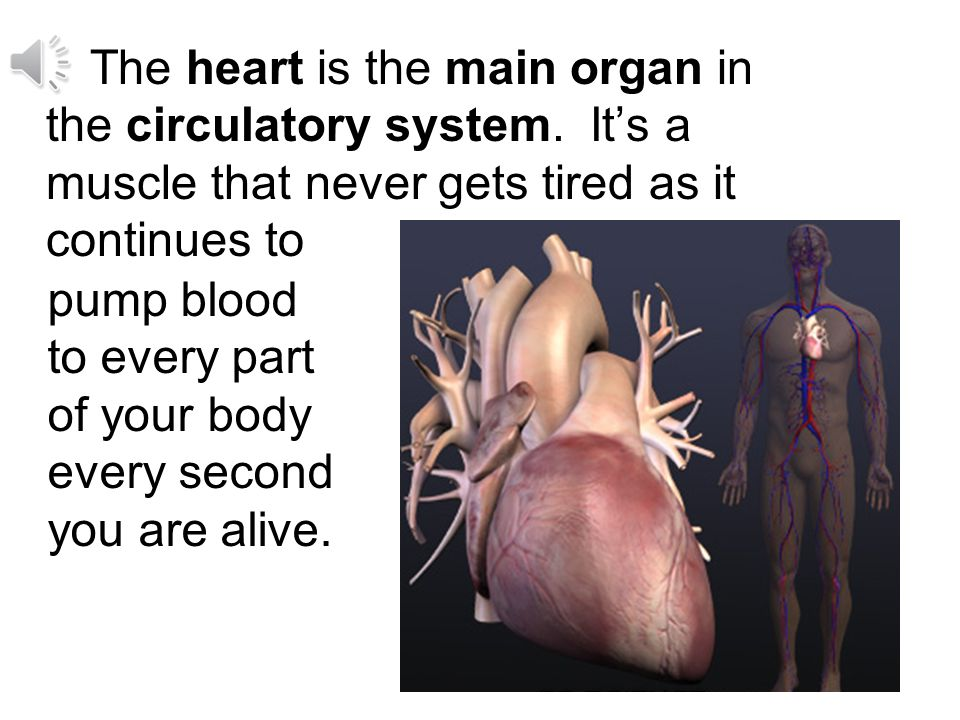 The heart is the main organ in the circulatory system