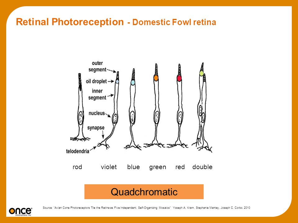 Retinal Photoreception - Domestic Fowl retina