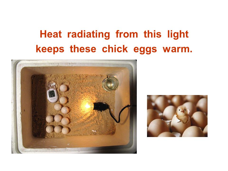 Heat radiating from this light keeps these chick eggs warm.