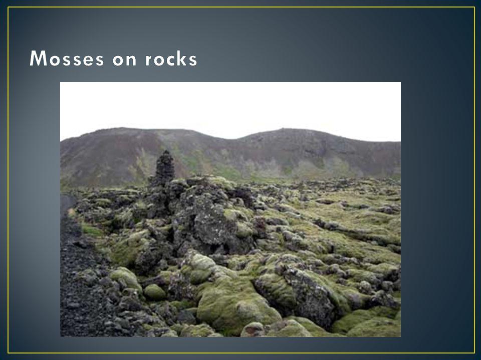 Mosses on rocks