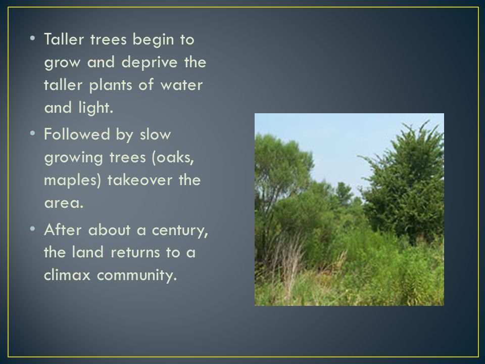 Taller trees begin to grow and deprive the taller plants of water and light.
