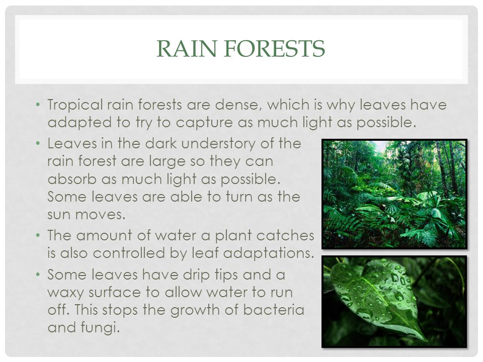 Rain Forests Tropical rain forests are dense, which is why leaves have adapted to try to capture as much light as possible.
