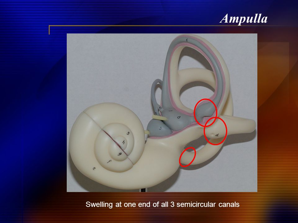 Ampulla Swelling at one end of all 3 semicircular canals