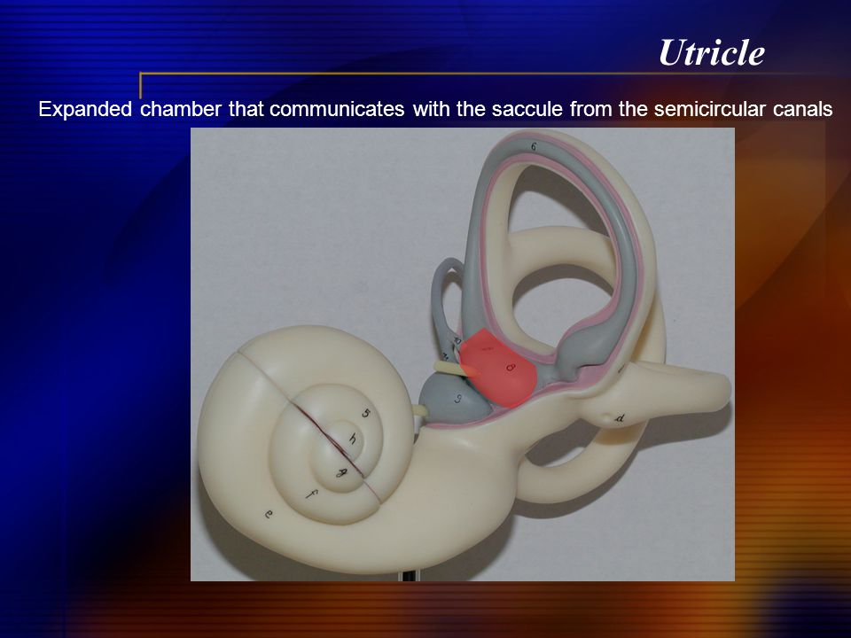 Utricle Expanded chamber that communicates with the saccule from the semicircular canals